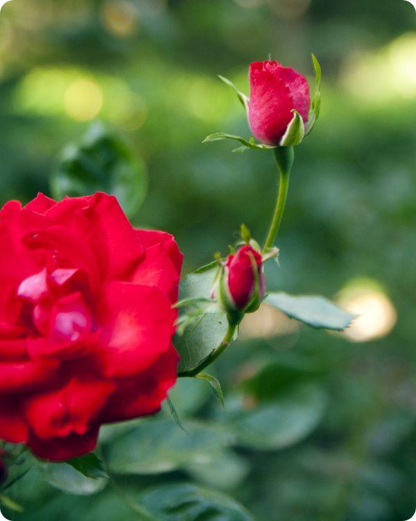 Rosas representando el servicio profesional de jardines