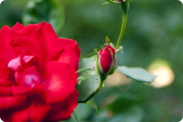 Rosas representando el servicio profesional de jardines y paisajismo